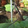 【家庭菜園】茄子がなりました。