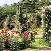 5月のバラは浜寺公園へ