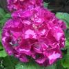 梅雨の日本で紫陽花を見ながら、日本の空気の美味しさも実感。
