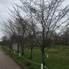 柳町公園の桜はまだ蕾。