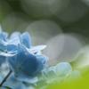 鎌倉の明月院・東慶寺・長谷寺に行ってアジサイの開花状況をチェックしてきました
