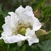ナワシロイチゴの開かない花