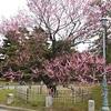 京都御苑の梅2020 見頃と開花状況を写真と動画で紹介!