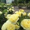 原公園のバラ、見事です♪