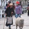 回る、回る、羊も回る
