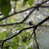 執念の探鳥、早戸川林道の野鳥/2018-9-2