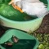 アヒルと子亀さんたちの水浴