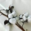 ワタ(綿)の木をもらったら、「コットンの木」が出た懐かしすぎるドラマを想い出した。
