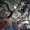夜桜とベランダガーデン♪プチトマトの収穫❤️