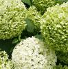 グリーンアナベル、ムクゲ、ランタナ、エキナセア、ルリマツリ・・・わが家の夏ガーデン♪