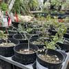 【オペルクリカリア・パキプス】塊根植物の王、我が家に降臨。