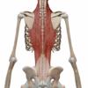 【筋トレ】脊柱起立筋を鍛える筋トレメニュー五選