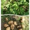 レンタル畑で野菜作り ジャガイモの試し掘り