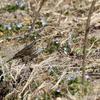 春のあぜ道にいた珍鳥サバンナシトド