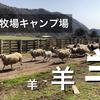 羊が駆け巡る!服部牧場キャンプ場で動物と触れ合う!