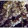 人気とスケールは桁違い!三春滝桜は一度は見てほしい。