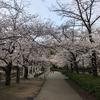 桜-第13号 「大阪城の桜」からの「トンカツ」