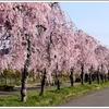 4月下旬まで枝垂れ桜の並木が楽しめる。日中線記念自転車歩行者道のしだれ桜を見に行こう