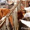 韓国「口蹄疫発生、乳牛195頭殺処分」
