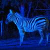 天王寺動物園 シマウマ
