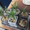 パキポディウム実生、種蒔きから18ヶ月