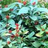 赤い実:センリョウとクロガネモチ