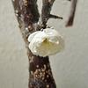 盆栽に、ひとつきりの白梅が咲く