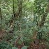 森の中に咲くギョクシンカ