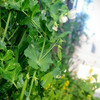収穫中の野菜たち(4月)