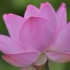朝5時から6時に撮った蓮の花 福岡県遠賀郡遠賀町島津
