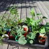 野菜苗 植え付け