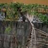 街中のミドリヤマセミ(Green Kingfisher)