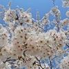 今日も桜とポケモン