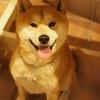 極寒の北海道 雪山に突っ込む柴犬ぺこ 〜空撮編〜
