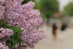 札幌・大通公園「さっぽろライラックまつり」で初夏の札幌を楽しむ。