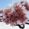 彼岸桜も満開です(笑)