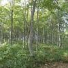 大嵐山のブナ林