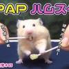 【ハムスター 動画】リンゴとパイナップルを夢中で食べるハムスターがおもしろ可愛い#65 PPAP HAMSTER