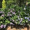 599紫陽花