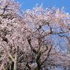 奥山田の流れ落ちるように咲くしだれ桜