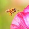 3月8日は「みつばちの日」~オスのミツバチって交尾の為だけにいるのか?~