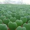 バレンタインデーに送りたい!ハート型の植物7選♡
