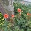 伸びないスピ練/芥子の花