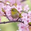 満開の河津桜とメジロ