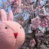 掃部山公園でお花見したよ~