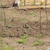 ジャガイモの収穫をしました