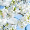 【文京区】小石川植物園の桜は満開です