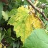 ゴーヤの葉 黄色になる原因と対処