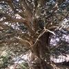 近所の巨木