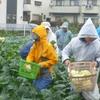 <農業講座日記>カリフラワーとブロッコリー 雨中の収穫